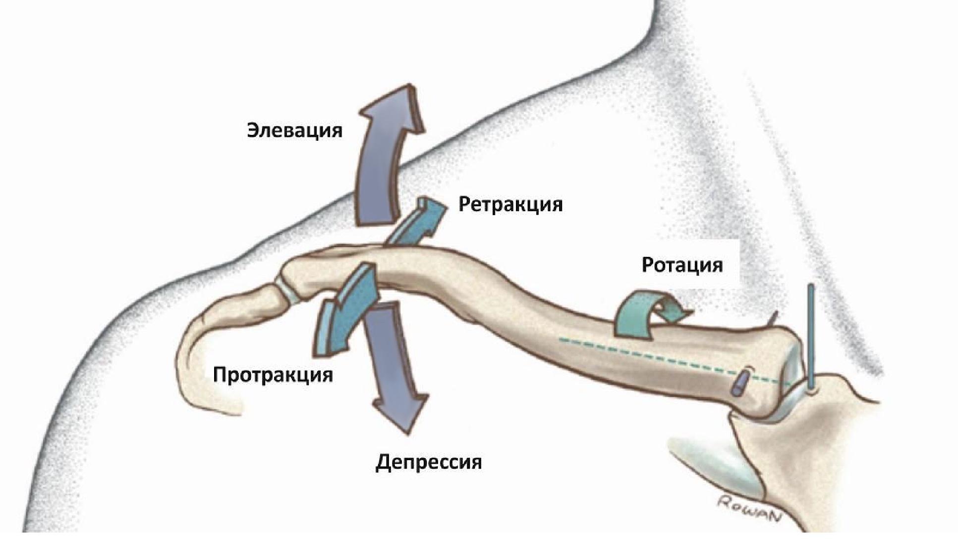 Анатомия акромиально-ключичного сустава