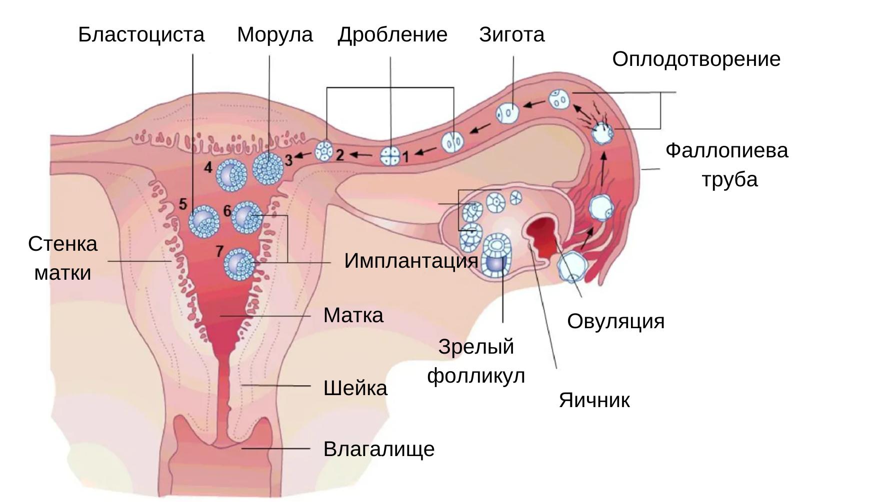 Фертильность и физическая терапия