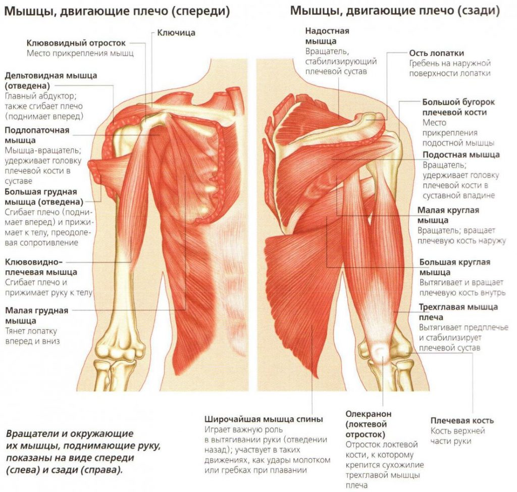 анатомия плече-лопаточного сустава