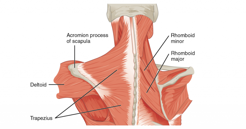 миалгия трапециевидной мышцы