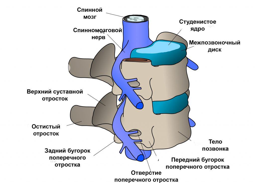 Клинически значимая анатомия