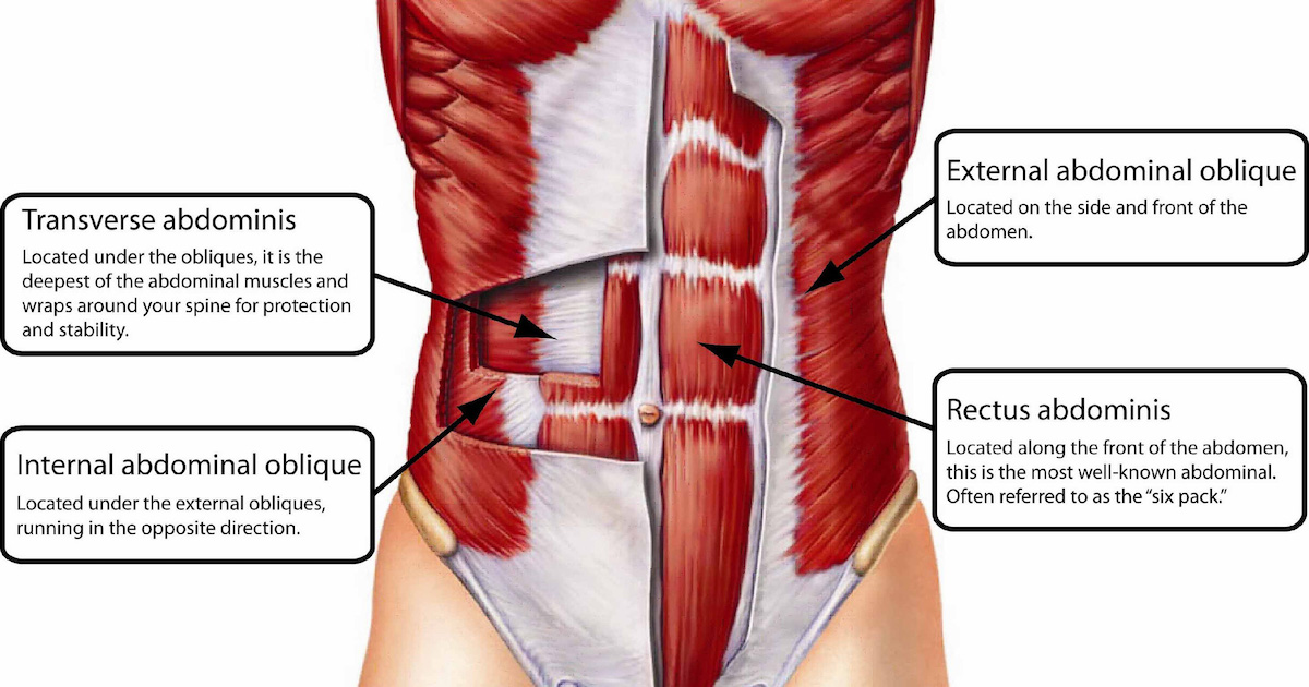 Анатомия мышц живота