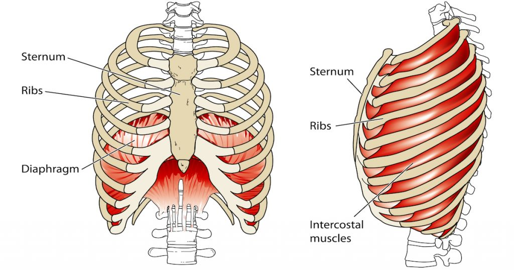 дыхательные мышцы