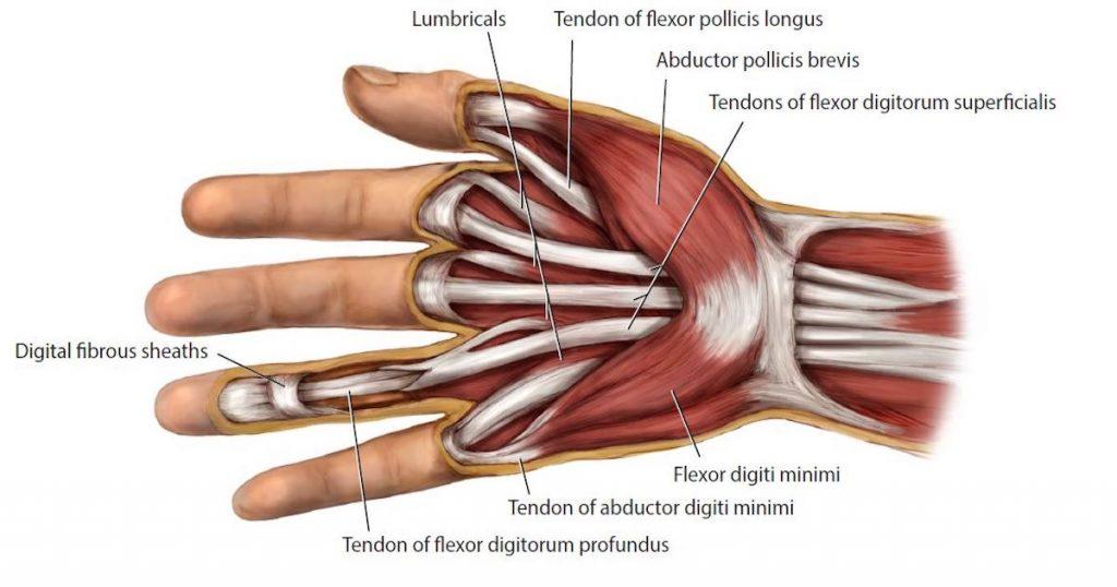 повреждение сухожилий сгибателей