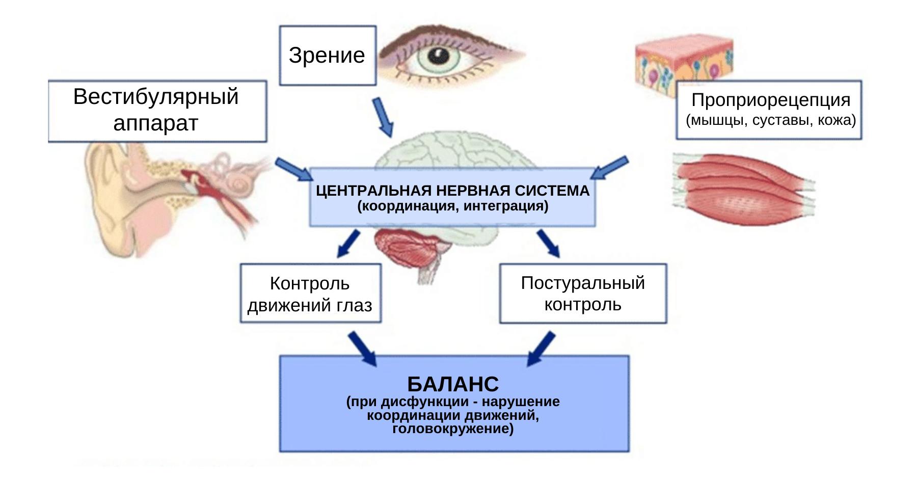 Система постурального контроля