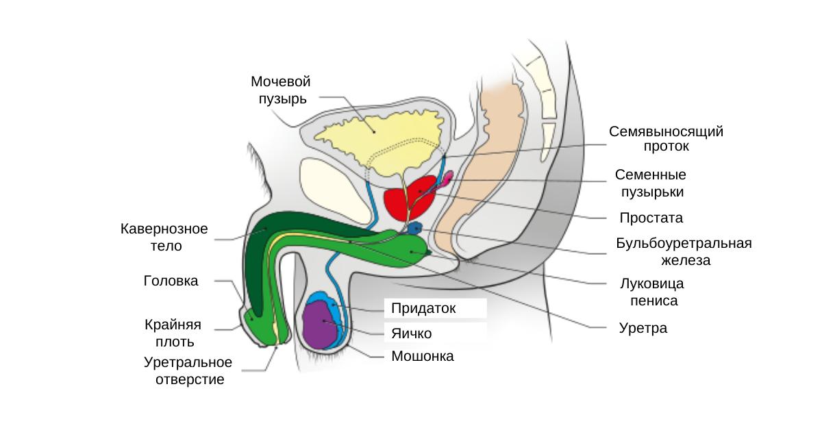 Анатомия тазового дна у мужчин