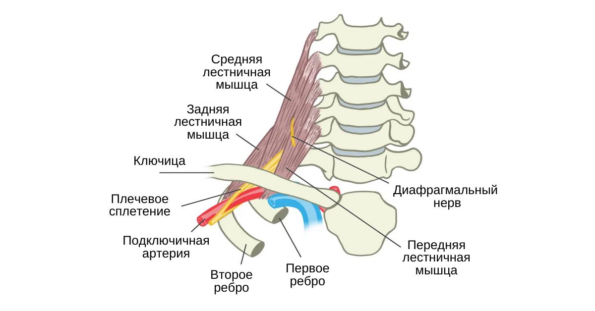Лестничные мышцы