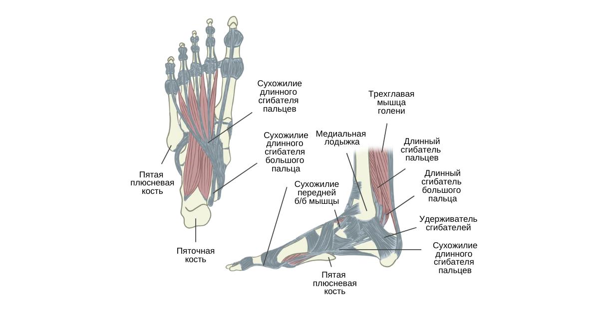 Длинный сгибатель большого пальца стопы