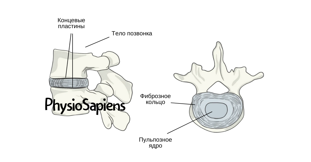 Анатомия и функции межпозвонкового диска