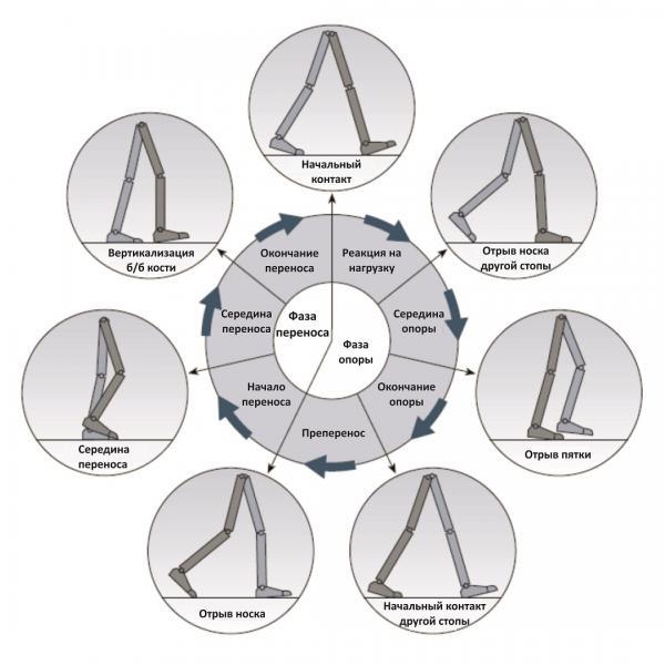 цикл ходьбы